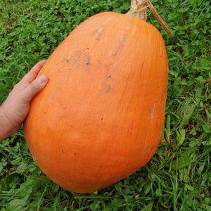 Calabaza Potimarron (14 kg)
