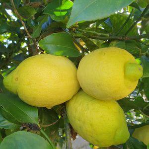 Limones de Valencia (1 kg)