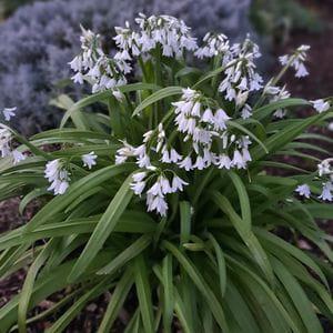 Flor de Ajo • 'Allium Triquetrum' (6 ramilletes)