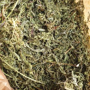 Artemisa Seca ('Artemisia Annua') (30 gr)