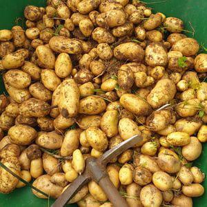 Patata McLeira (1 kg)