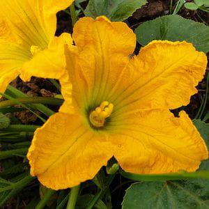 Flor de Cabaciño (1 ud)