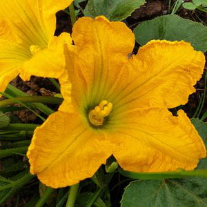 Flor de Calabacín (1 ud)