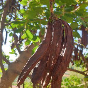 Vainas de Algarroba (1/2 kg)